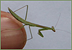 carolina mantis juvenile